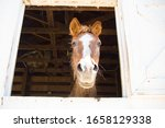Old Horse In White Barn Window...