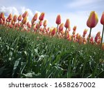 The Skagit Valley Tulip...