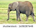 An Amboseli Female Elephant...
