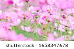 Soft Focus Pink Cosmos Flowers...