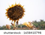 This Is A Dried Sunflower...