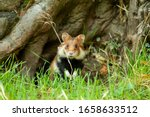 One adult european hamster in front of a tree.