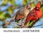 Beautiful Northern Cardinal...