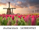 Tulip Fields And Windmill In...