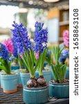 Flowering Hyacinthus Orientalis ...