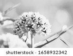 Antelope Horns Wildflower In...