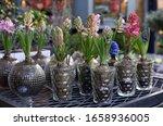 Blooming Hyacinthus Orientalis...