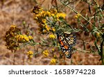 Monarch Butterfly In The High...