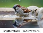 The  House Sparrow  Passer...