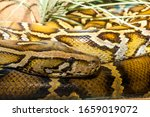 Large Snake This Is A...