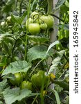 green tomatoes shortly before...   Shutterstock . vector #165945842