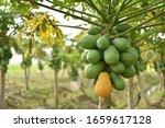 Papaya Fruit On Papaya Tree In...
