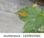 Fiery Skipper Moth On Lantana...