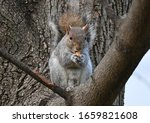 Squirrel On The Tree Eating...