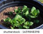 Growing Potato Plants In...