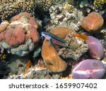Yellow goatfish (Mullidae) and tropical reef. Marine life, fish and corals. Underwater photo from scuba diving. Coral reef in the ocean. Aquatic wildife.