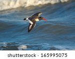 American Oystercatcher Flying...