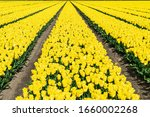 Flower Rows Of Yellow Tulips...