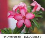 Sweet Oleander  Rose Bay ...