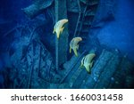 Bat Fishes Under The Sea....