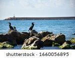 Cormorants On The Rocks At The...