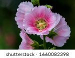 The Hollyhock Growing In A...