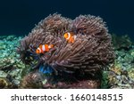 Nemo Fish In Their Anemone Home