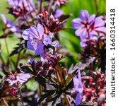 Small photo of Purple flowers of geranium pratense, sort Hocus Pocus in summer garden