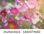 Pink Cosmos Flower Blooming...