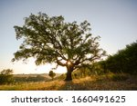 Old Cork Oak Tree  Quercus...