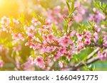 Peach Blossoms. Spring....
