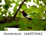 A Red Headed Woodpecker Eats I...