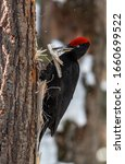 Small photo of Black woodpecker. forest bird. Woodcut makes a hole in a tree. Big black woodcut with red head