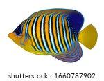 Angel Fish  Royal Angelfish ...