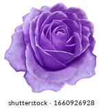 Purple flower rose  on a white...