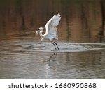 Flying Bird Catching Fish In...