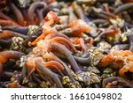 Small photo of Goose neck barnacle, goose barnacle or leaf barnacle Pollicipes
