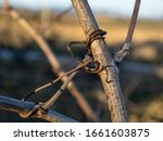 detail of vine branch tendril.... | Shutterstock . vector #1661603875