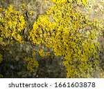 close up lichen from tree trunk.... | Shutterstock . vector #1661603878