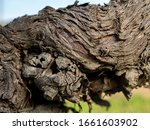 closeup view of vine trunk. old ... | Shutterstock . vector #1661603902