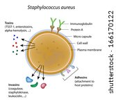 Staphylococcus aureus bacterium - stock photo