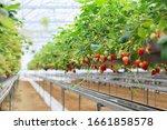 Strawberry Farm Planting In...