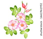 watercolor drawing dog rose...   Shutterstock . vector #1661961952