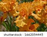 Bright Orange Tall Bearded Iris ...