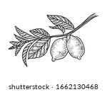 lemon branch with fruits sketch ... | Shutterstock .eps vector #1662130468