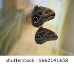 Two Beautiful Owl Butterfly...