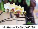 yellow phalaenopsis orchid.... | Shutterstock . vector #1662445228