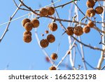 Fruits Of American Sycamore...