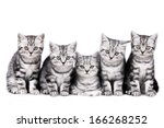 Stock photo british short hair kitten isolated 166268252