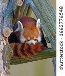 View Of A Red Panda  Ailurus...